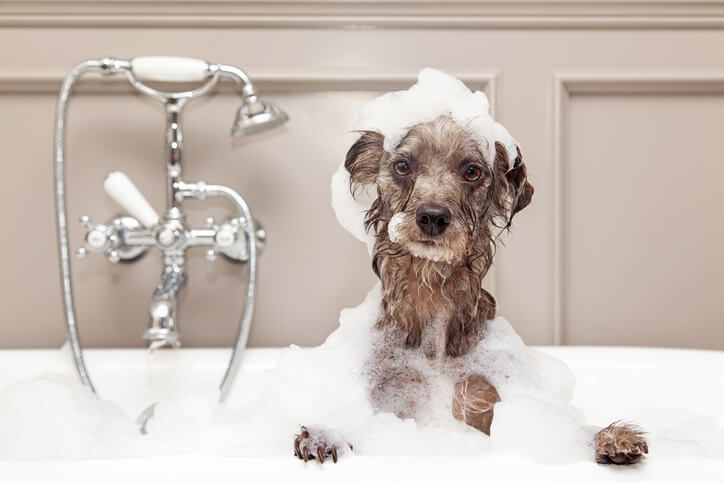 Should you bathe the dog before grooming?